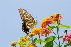 Colorful swallowtail butterfly flying Royalty Free Stock Photos