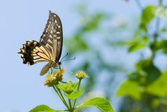Colorful swallowtail butterfly flying and feeding Stock Image