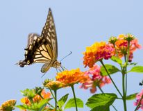 Colorful swallowtail butterfly flying and feeding Stock Photos