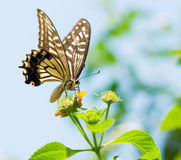 Colorful swallowtail butterfly flying and feeding Royalty Free Stock Photography