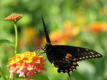 Colorful swallowtail butterfly getting nectar. Stock Image