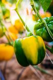 Bell pepper on the plant. Colorful sweet, bell pepper on the plant royalty free stock images