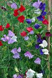 Colorful sweet pea flowers Royalty Free Stock Photo