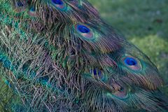 Peacock tail feathers. Colorful tail feathers of a peacock with green and blue hues Royalty Free Stock Photo
