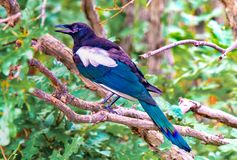 A Colorful and Talkative Magpie Bird Stock Photo