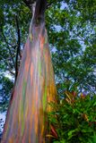 Rainbow Eucalyptus Tree Hana Maui Hawaii. This colorful tall Rainbow Eucalyptus Tree is located on the Road to Hana in Maui, Hawaii. It is found at about mile royalty free stock image