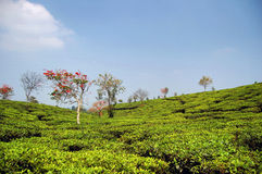 Colorful tea garden Royalty Free Stock Images