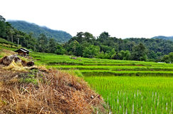 Colorful in the terraced rice field. Baby rice, brown grass, green mountain, brown little hut Stock Photo