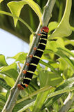 Colorful Tetrio Sphinx Caterpillar Eating Royalty Free Stock Photography