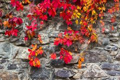 Colorful texture of ivy plant on the stone wall. Red and green leaves background stock image