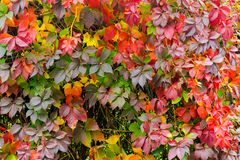 Colorful texture of ivy plant on the wall. Red and green leaves background royalty free stock photos