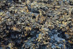 Colorful textured wall of Black Lava Rock. Older lava flow showings colors. From Volcano National Park on the Island of Hawaii near the Napau Trail Head Stock Image