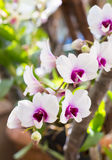 Colorful thai orchids Royalty Free Stock Images