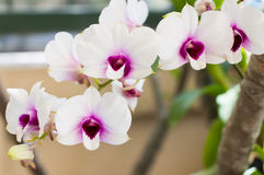 Colorful thai orchids Stock Photography