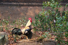 Colorful thai rooster Stock Photo