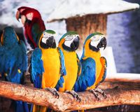Colorful three blue and yellow macaw standing on tht timber , ara chloropterus group nature background royalty free stock photo