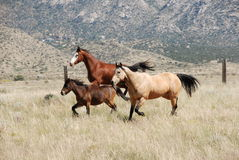 Colorful Three Horses Running Together in Mountains Stock Images
