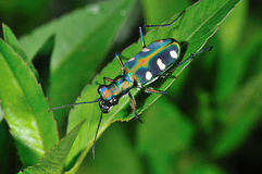 Colorful Tiger Beetle Royalty Free Stock Photo