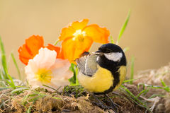 Colorful tit Royalty Free Stock Photography
