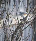 Titmouse in a bush Royalty Free Stock Photography