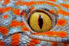 Colorful Toke`s gecko amazing eye macro. stock photos