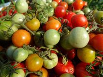 Colorful tomato Royalty Free Stock Images