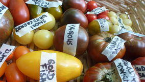 Colorful tomtoes in basket. Various tTomatoes in wooden basket, heirloom Royalty Free Stock Photos