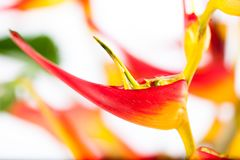 Heliconia with vivid colors. Colorful topical flower, heliconia close up picture with studio lighting as a background or detail shot Stock Photography