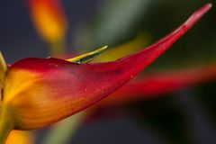Heliconia with vivid colors. Colorful topical flower, heliconia close up picture with studio lighting as a background or detail shot Royalty Free Stock Photo