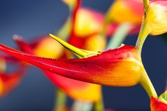 Heliconia with vivid colors. Colorful topical flower, heliconia close up picture with studio lighting as a background or detail shot Royalty Free Stock Photography
