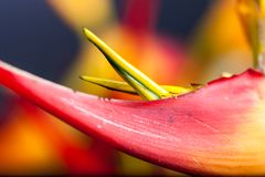Heliconia with vivid colors. Colorful topical flower, heliconia close up picture with studio lighting as a background or detail shot Stock Photo