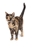 Colorful Tortie Cat Standing to Side Stock Images