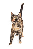 Colorful Tortie Cat Walking Forward Royalty Free Stock Images
