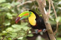 Colorful Toucan Stock Photos