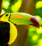 Colorful toucan bird Royalty Free Stock Photography