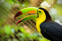 Colorful toucan bird. Closeup of colorful toucan bird somewhere in Mexico Royalty Free Stock Images