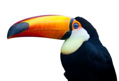 Colorful Toucan Bird Royalty Free Stock Photos