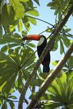 Colorful toucan bird in the wild, Iguazu jungle royalty free stock images
