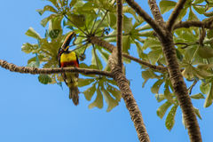 Colorful toucan in Pantanal, Brazil. Pantanal is one of the world's largest tropical wetland areas located in Brazil , South Ameri Royalty Free Stock Image