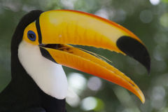 Colorful toucan - Ramphastos toco. Colorful toucan in a natural environment. Parque das aves - Foz do Iguacu royalty free stock photo
