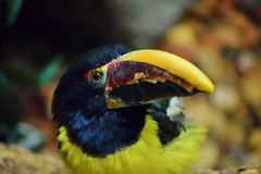 Vibrant Multi-Colored Toucan Stock Photography