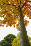 Colorful Tree in Autumn at Leases Park in Newcastle, England Royalty Free Stock Image