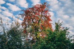 Colorful tree in the autumn royalty free stock image