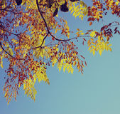 Colorful tree foliage in the autumn. Autumn leaves sky background. image is retro filtered Stock Images