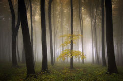 Colorful tree in forest with fog in autumn Stock Image