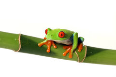 Colorful Tree Frog. Colorful Red-Eyed Tree Frog on Bamboo.  Isolated on white background Stock Photo