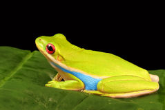 Colorful tree frog against black background Royalty Free Stock Photography