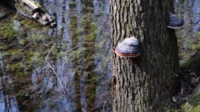 Colorful tree fungi on tree trunk near water. Of pond or lake in a forest with reflections of trees in water surface stock video footage
