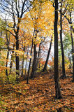 Colorful Tree Leaves in the Wood Royalty Free Stock Photography