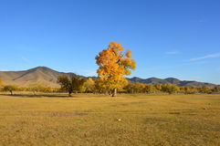 Colorful tree in Mongolian steppe in autumn. A yellow-coloured tree in the middle of Mongolian steppes during autumn Royalty Free Stock Images